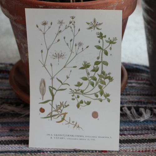 Florabild - Grässtjärnlomma, Våtarv