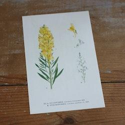 Florabild - Gulsporre