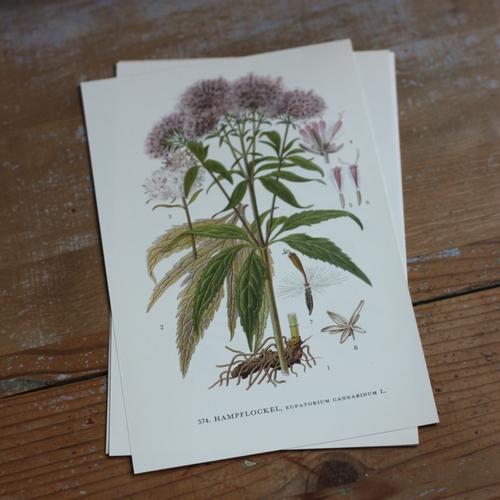 Florabild - Hampflockel