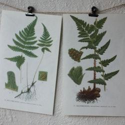 Florabild - Hultbräken