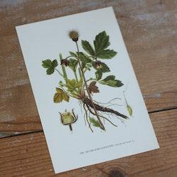 Florabild - Humleblomster