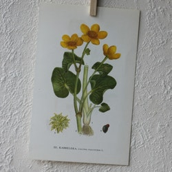 Florabild - Kabbeleka