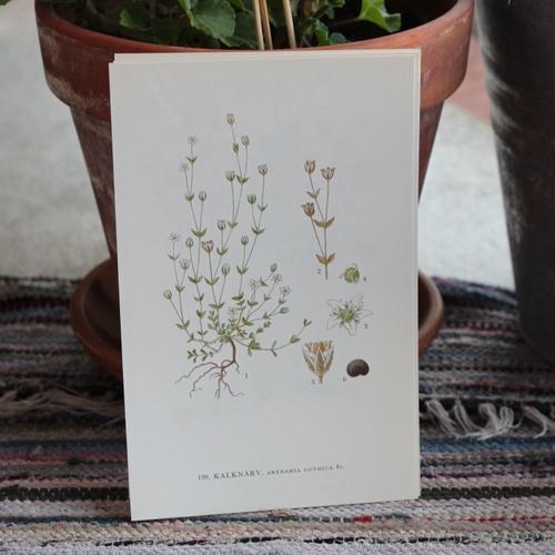 Florabild - Kalknarv
