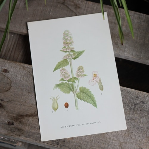 Florabild - Kattmynta