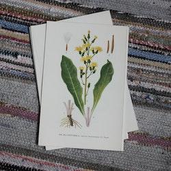 Florabild - Klasefibbla