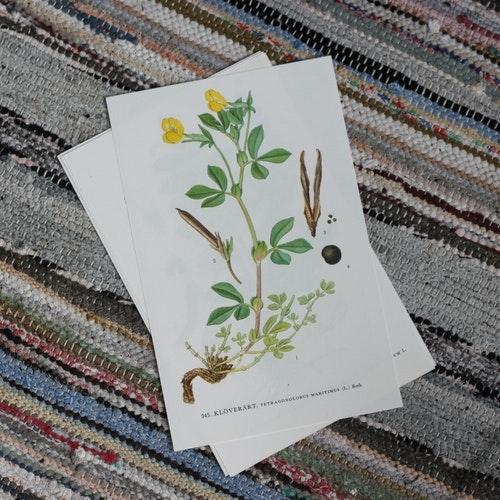 Florabild - Klöverärt