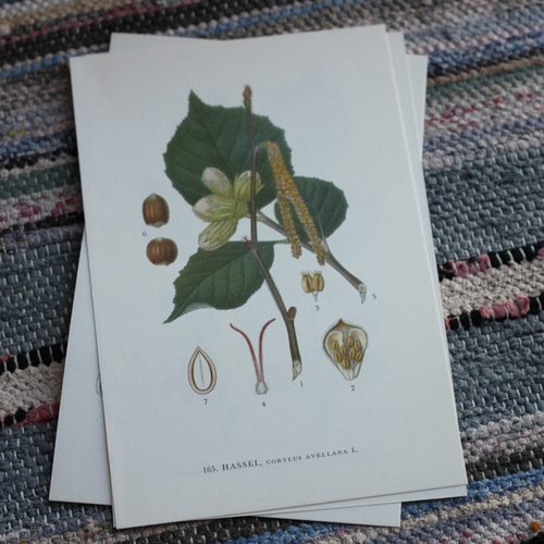 Florabild - Hassel