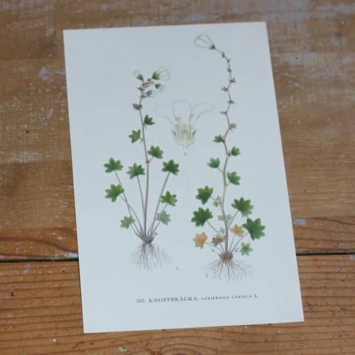 Florabild - Knoppbräcka