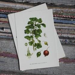 Florabild - Krusbär