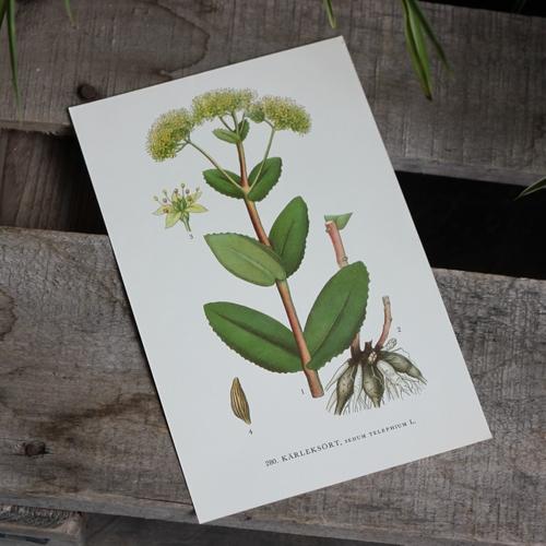 Florabild - Kärleksört