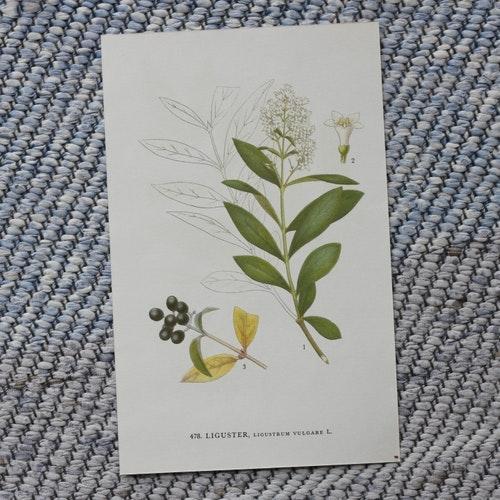 Florabild - Liguster