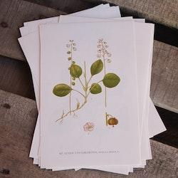 Florabild - Liten Vintergröna