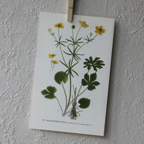 Florabild - Majsmörblomma