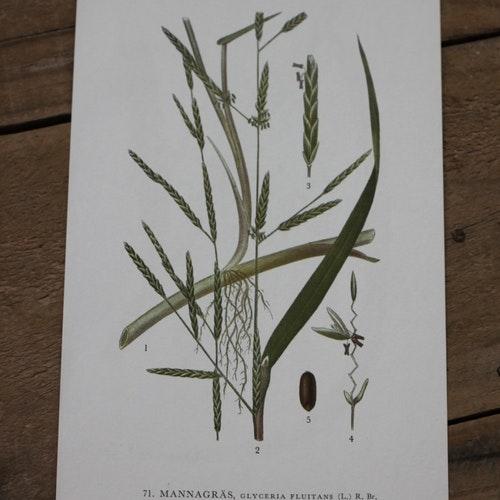 Florabild - Mannagräs