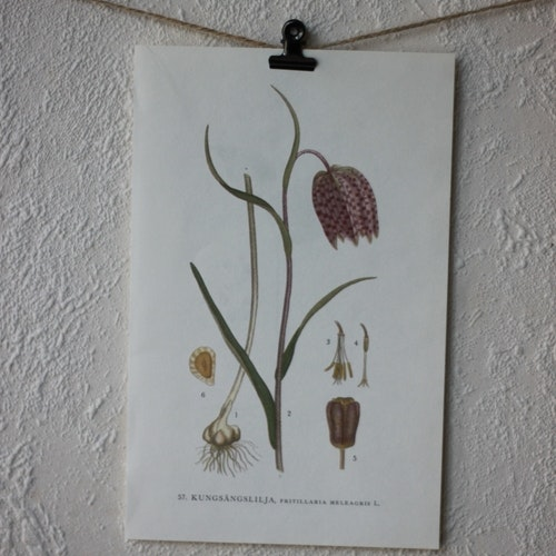 Florabild - Kungsängslilja