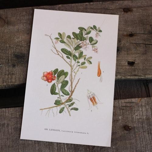 Florabild - Lingon