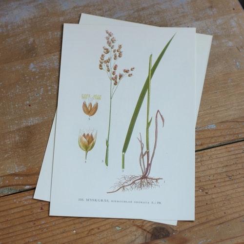 Florabild - Myskgräs