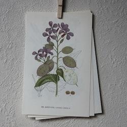 Florabild - Månviol
