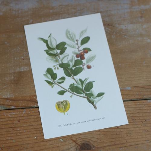 Florabild - Oxbär
