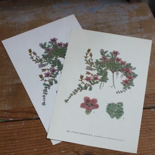 Florabild - Purpurbräcka