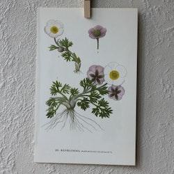 Florabild - Renblomma
