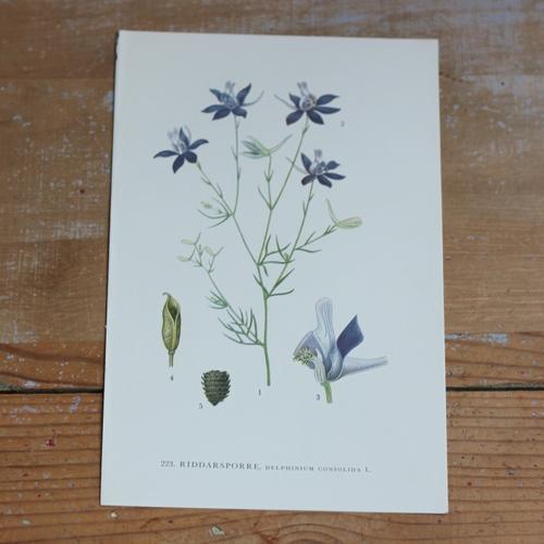 Florabild - Riddarsporre