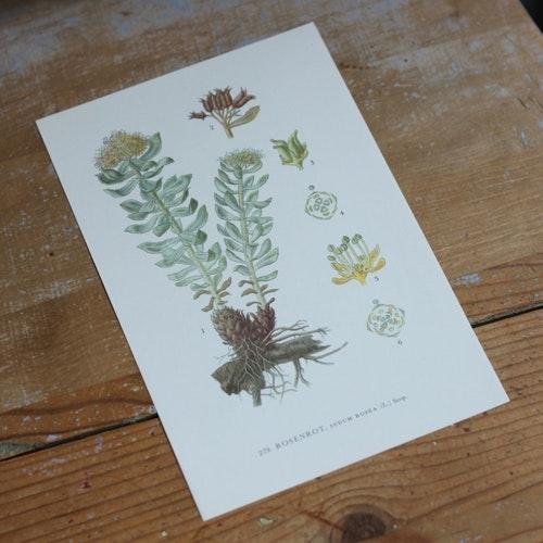 Florabild - Rosenrot