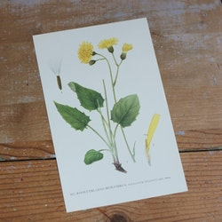 Florabild - Rosettbladig Hökfibbla