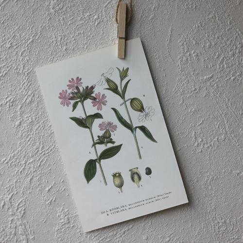 Florabild - Rödblära, Vitblära