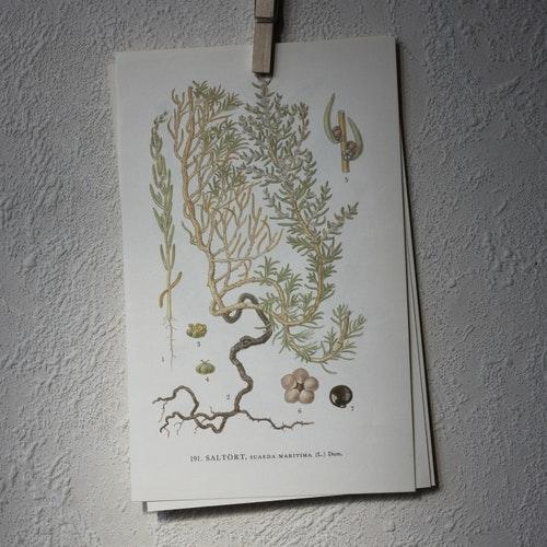 Florabild - Saltört