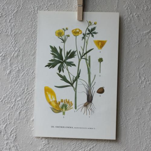 Florabild - Smörblomma