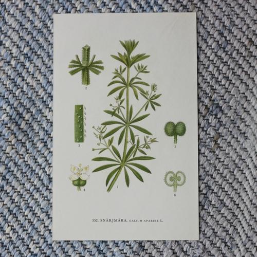 Florabild - Snärjmåra