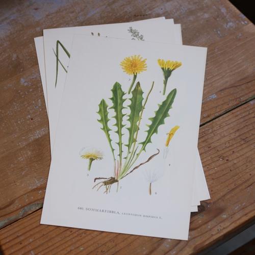 Florabild - Sommarfibbla