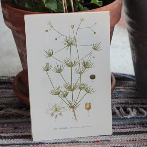 Florabild - Spergel