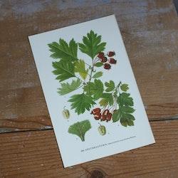 Florabild - Spetshagtorn