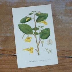 Florabild - Springkorn