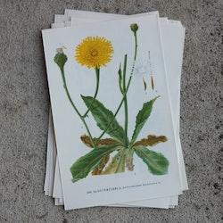 Florabild - Slåtterfibbla