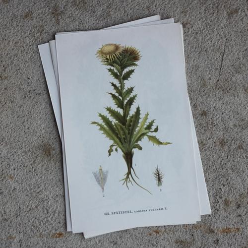 Florabild - Spåtistel