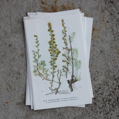 Florabild - Stenmalört, Fältmalört