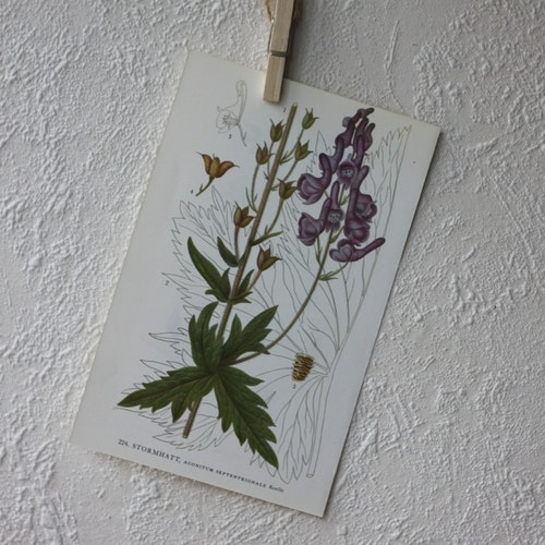 Florabild - Stormhatt