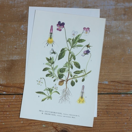 Florabild - Styvmorsviol, Åkerviol