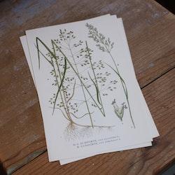 Florabild - Sumpgröe, Lundgröe