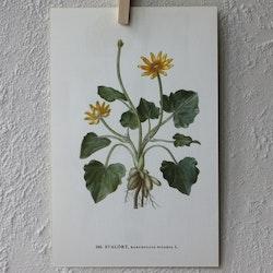 Florabild - Svalört