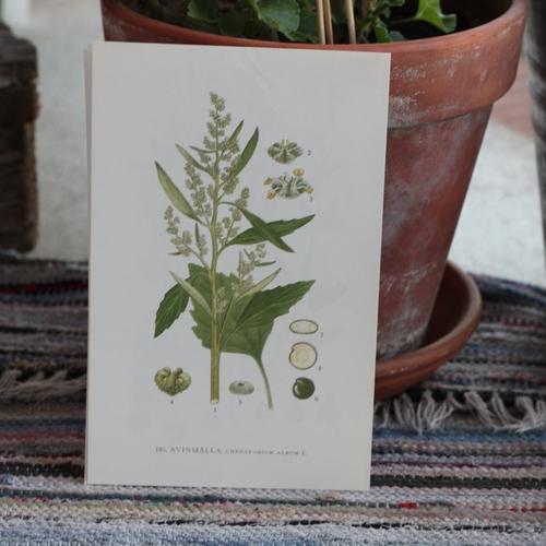 Florabild - Svinmålla