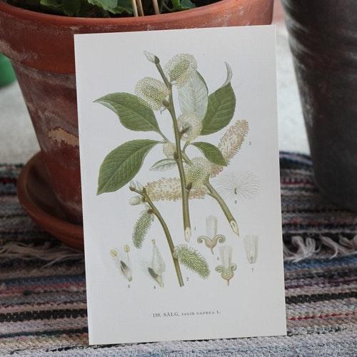 Florabild - Sälg