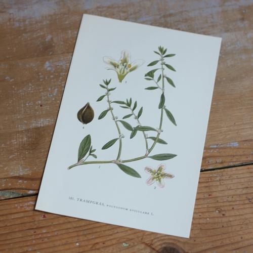 Florabild - Trampgräs