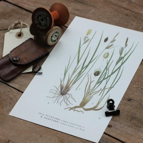 Florabild - Tuvstarr, Småstarr