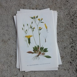 Florabild - Varangerfibbla