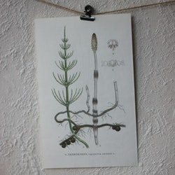 Florabild - Åkerfräken