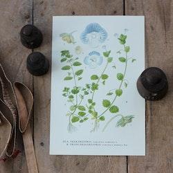 Florabild - Åkerärenpris
